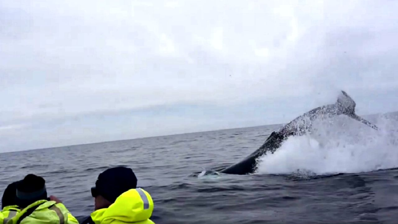 humpback whales surprise cruise passengers off lewis