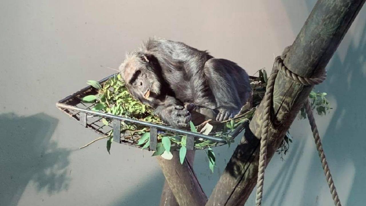 Chimpanzee behaviour to be studied at Edinburgh Zoo