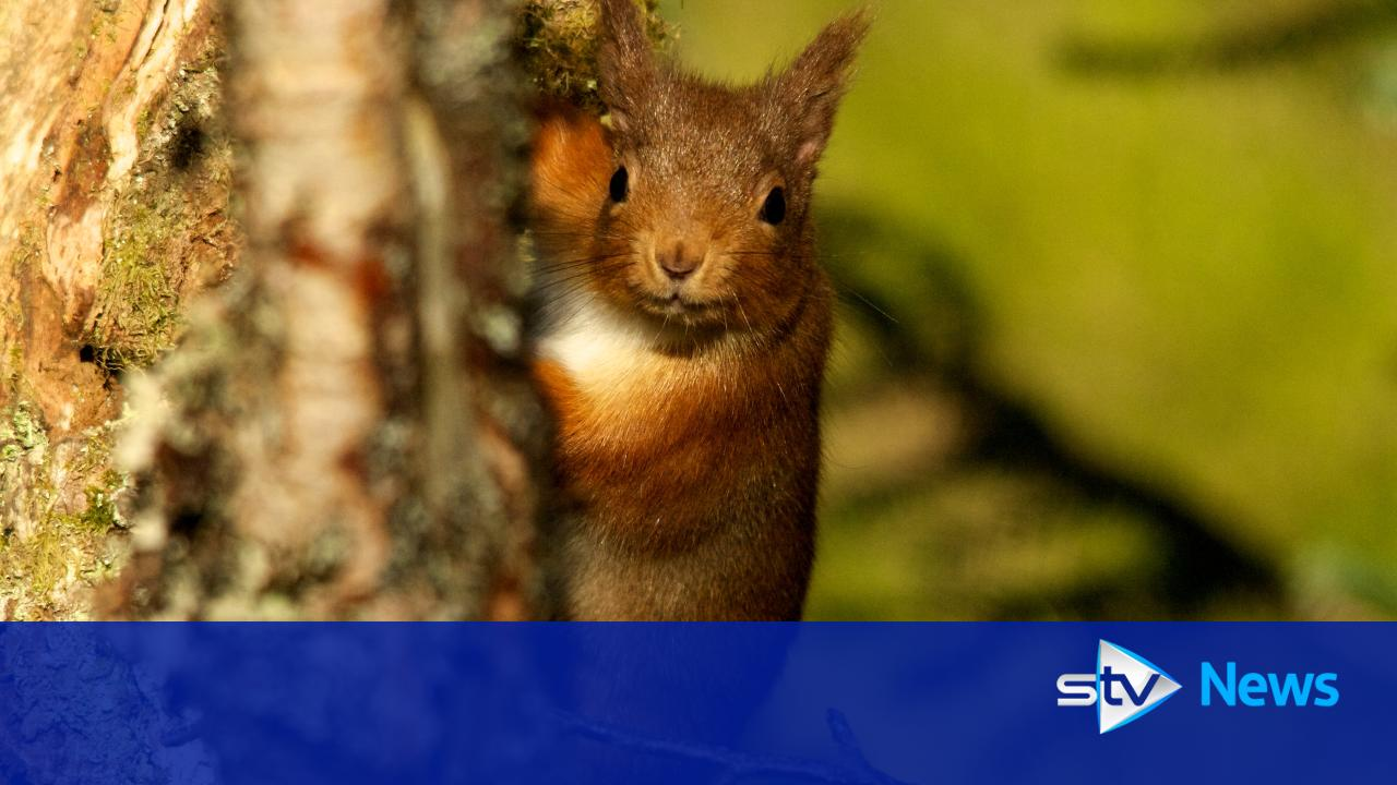 More red squirrels to be introduced to Highland forests