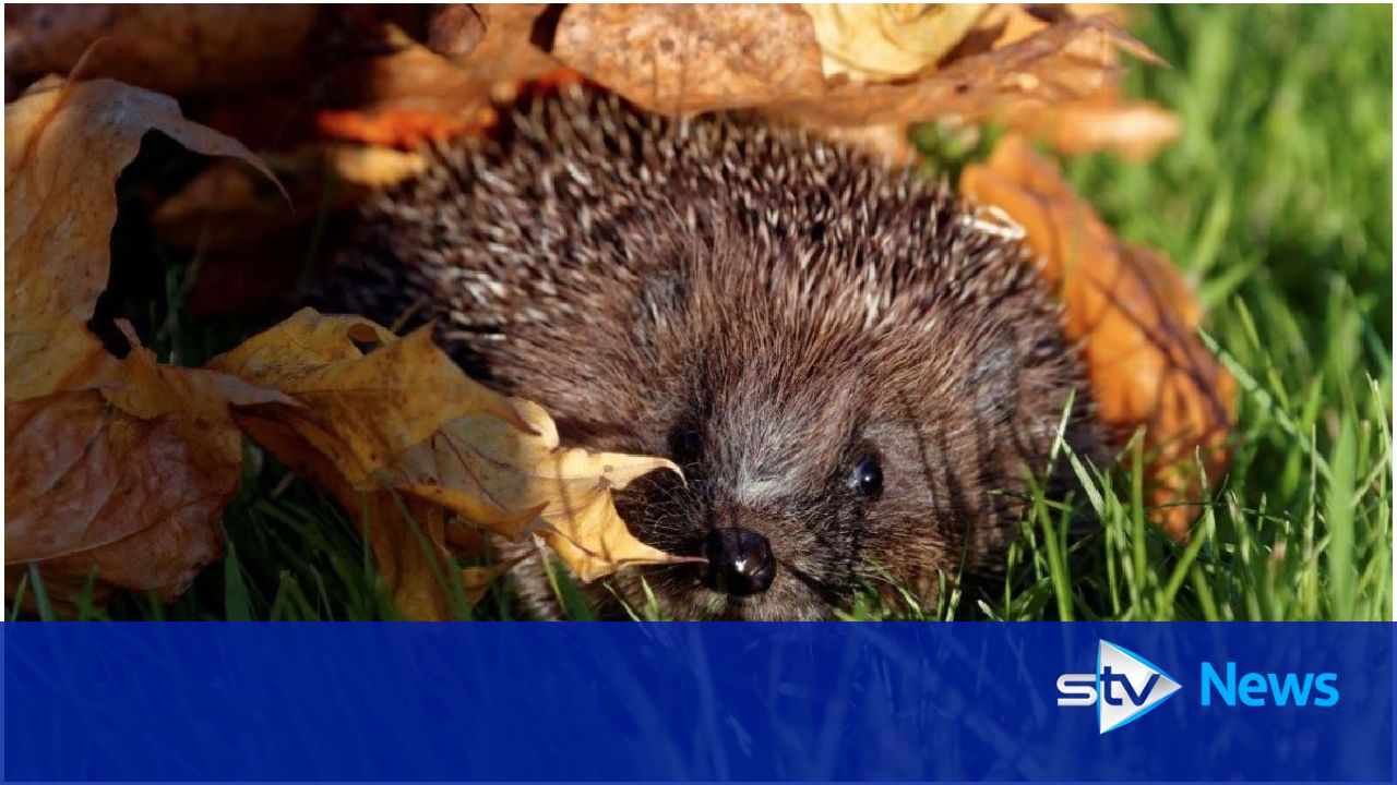 Call to help hedgehogs survive over the winter months