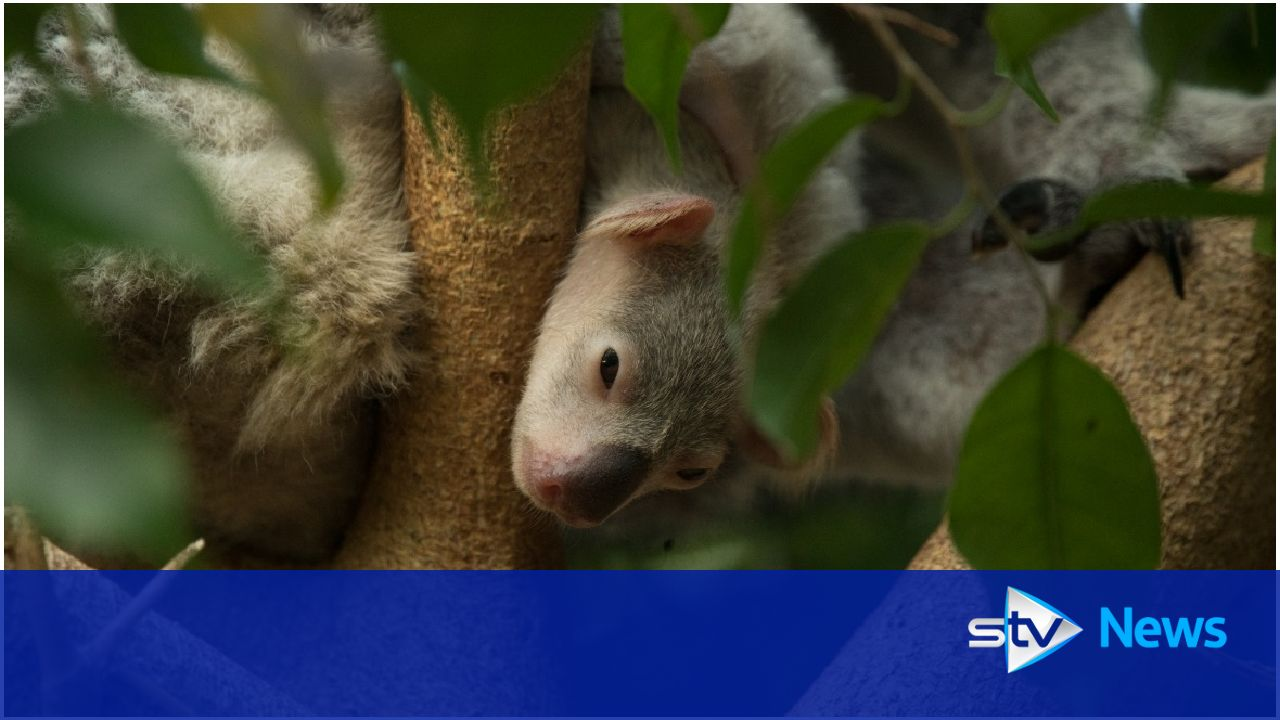 Koala joey peeks out of mother's pouch for first time