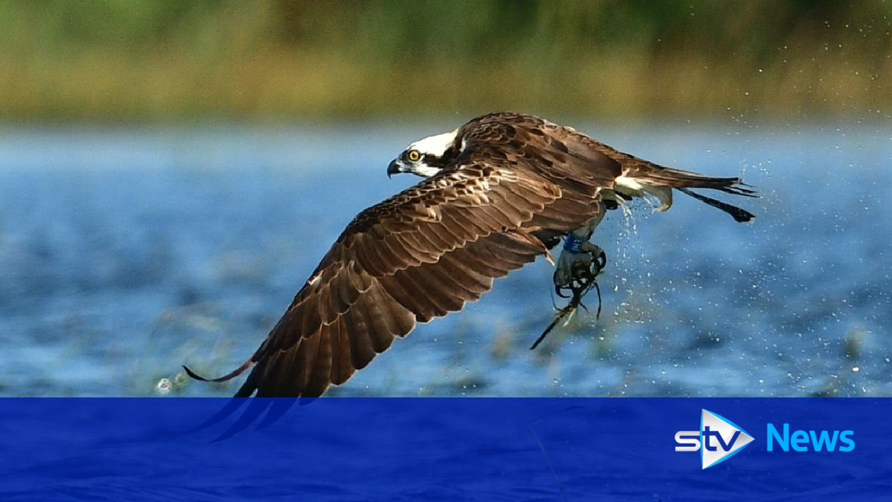 Scots osprey dies after hitting power lines in Spain