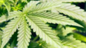 Raid: Cannabis plants were seized (file pic).
