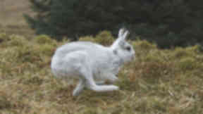 Mountain Hare: Country's only native hare.