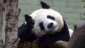 Tian Tian birthday panda.
