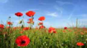 Fields of real poppies remembrance day.