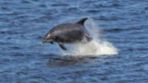 Bottle nosed dolphins seen from Torry Battery