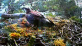 Screen grab of web cam on the nest of Lady an osprey at at Loch of Lowes near Dunkeld, Perthshire, that has arrived back for the breeding season for her 25th year. March 31 2014