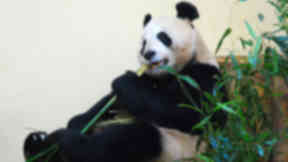 Tian Tian: Has not given birth since arriving in Edinburgh in 2011.