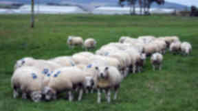 Sheep: Roddy Scarborough had more than £30,000 worth of livestock stolen.