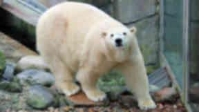 Victoria: Polar bear taken off public display.