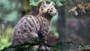 Wildcat at Highland Wildlife Park. Uploaded July 22 2015