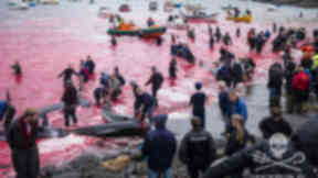 Faroes Faroe Islands whale slaughter Quality news image from Sea Shepherd used with permission uploaded September 2 2015