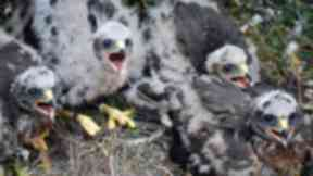 Chicks: Hen harrier chicks hatch on Mar Lodge Estate.