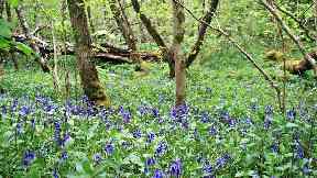 Bluebell wood Scotland