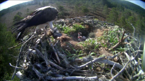 Osprey EJ with her three chicks, who have now died at Loch Garten reserve.
