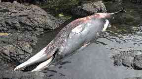 Minke whale: Washed up dead after becoming entangled.