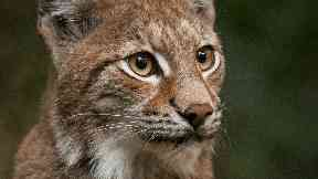 Lynx big cat image released by the Lynx UK Trust