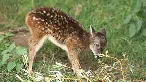 Visayan spotted deer fawn