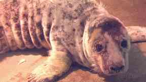 Seal pup from SSPCA Wildlife Centre