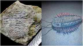 Trilobite fossil and artist's rendering of what a trilobite might look like.