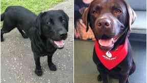 Police Dog Angus was saved by labrador Jack thanks to a blood transfusion by Pet Blood Bank UK