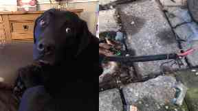 Electrocuted: Owner looking for answers. Maybole High Street Black Labrador