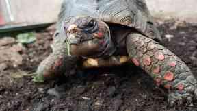 Huck, red-footed tortoise stolen from Edinburgh Butterfly World.