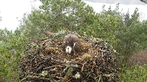 Female osprey LF15 laid her first of the season at the Scottish Wildlife Trust's Loch of the Lowes Wildlife Reserve April 14 2018.