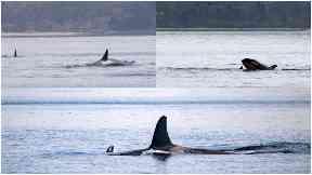 Killer whales orcas River Clyde April 2018