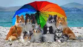 Dog models, Shetland