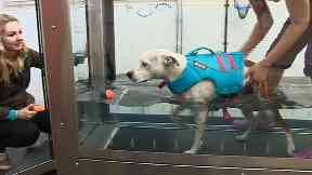 Calvin, a five-year-old Staffordshire bull terrier cross, learning to walk through hydrotherapy
