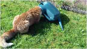 Watering can fox