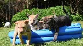Crossbreed puppies