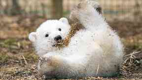 Hamish the polar bear cub