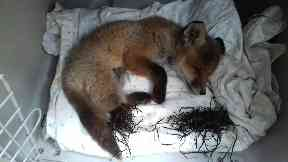 Fox: Found in Lanarkshire.