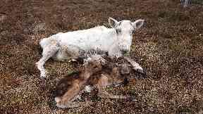 The Cairngorm Reindeer Herd