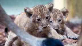 Two lion babies walk together in the zoo in Frankfurt.