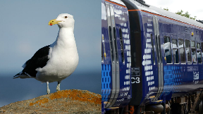 Seagull got trapped on ScotRail train composite.