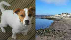 Dog: Buddy went missing two weeks ago. Helensburgh Beach