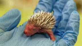 A tiny newborn hedgehog called Piglet is being cared for at a wildlife centre in Scotland.