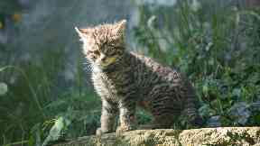 Edinburgh Zoo wildcat kitten June 2018