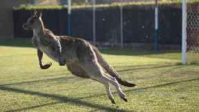 Real-life socceroo stops play during Australian football match