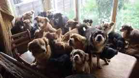 Police find 82 chihuahuas at home of woman who died