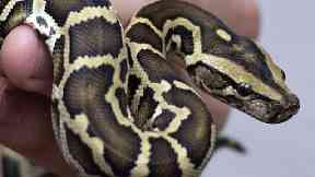 Snakes in a bed – woman wakes up to 3ft python