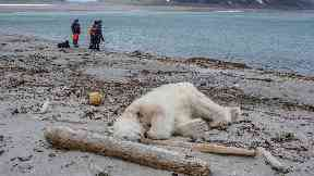 Polar bear shot dead after attacking cruise ship guard