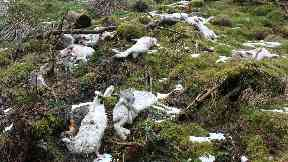 Mountain hare cull quality generic