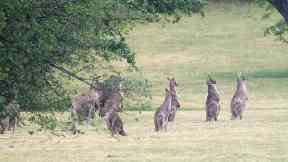 Farmers in Australia get greater powers to kill kangaroos amid drought