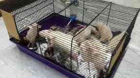 Rats: The 18 rats were found by police.
