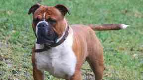 Olde English Bulldogge (correct spelling) Bulldog generic
